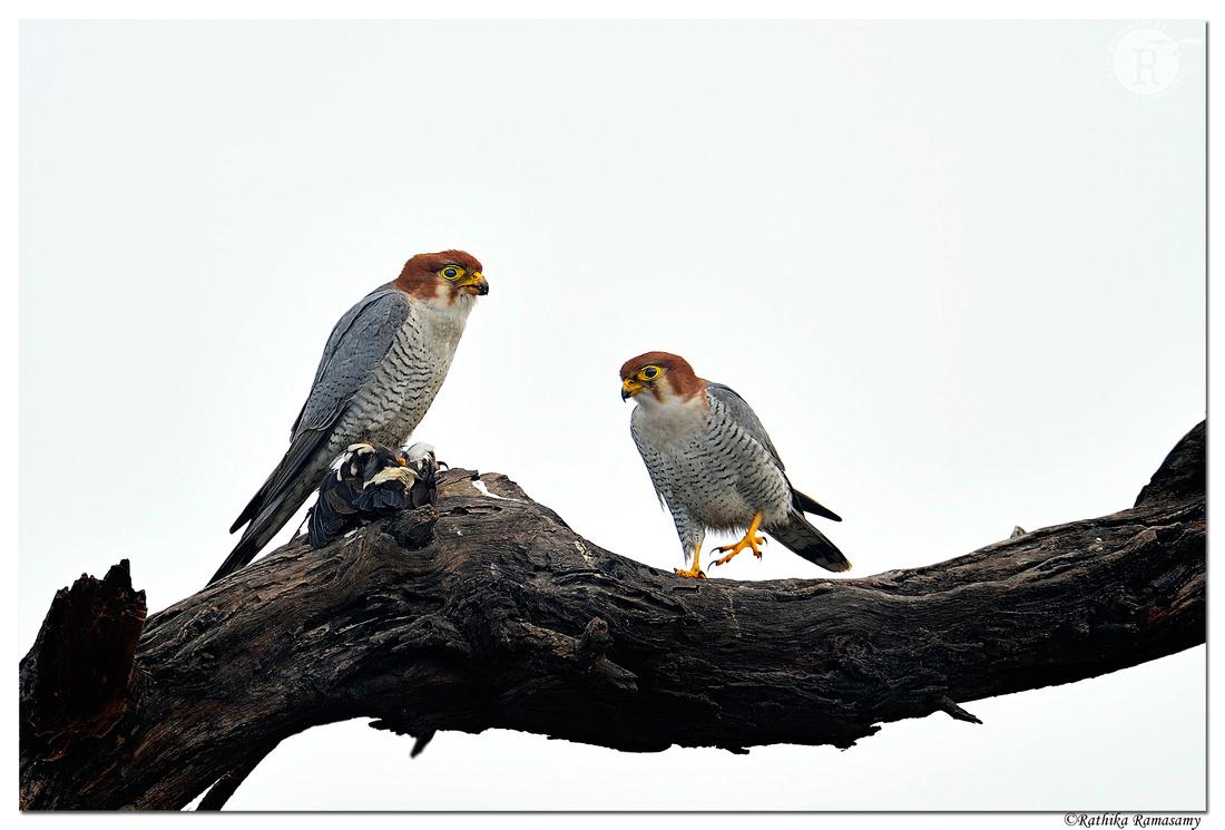 Red-necked Falcon(Falco chicquera)_D4S5585