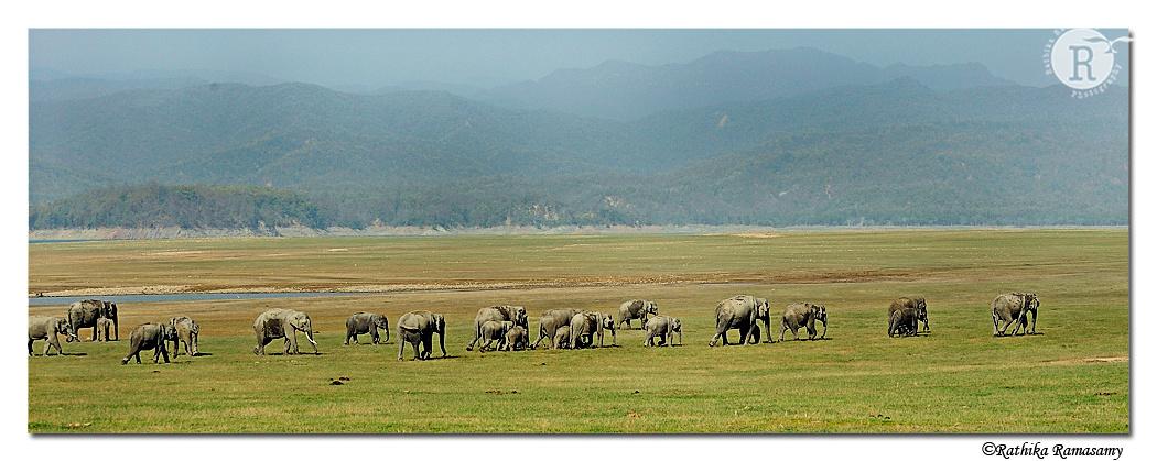 Asian elephants_DD38687