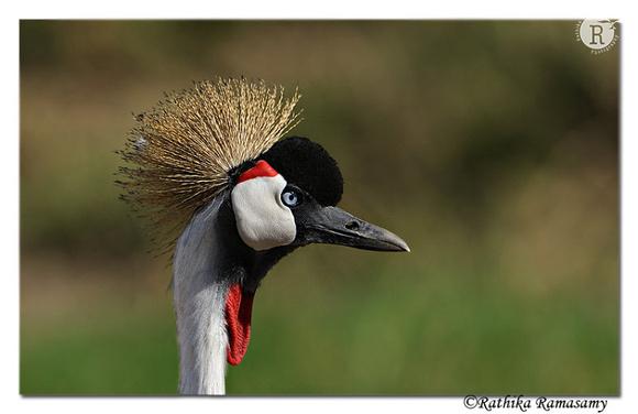 Grey Crowned Crane (Balearica regulorum)_DD32154