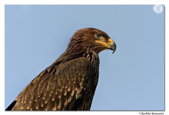 Eastern Imperial Eagle (Aquila heliaca)_D4R6788