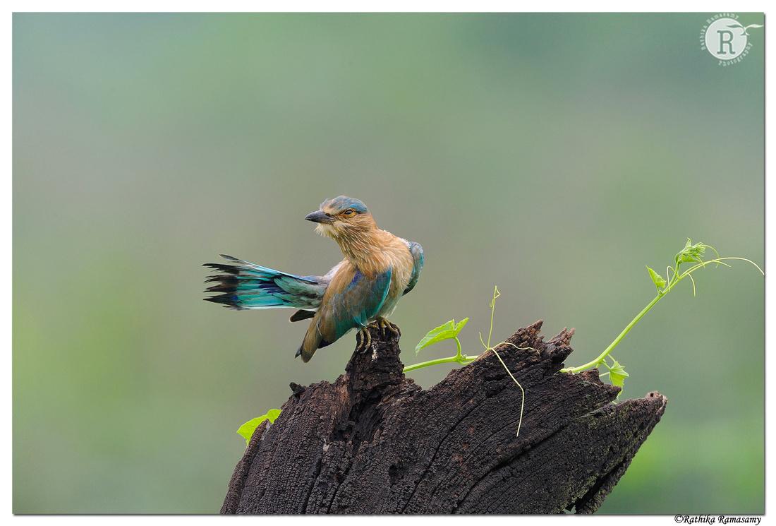 Indian roller (Coracias benghalensis)_DD32175