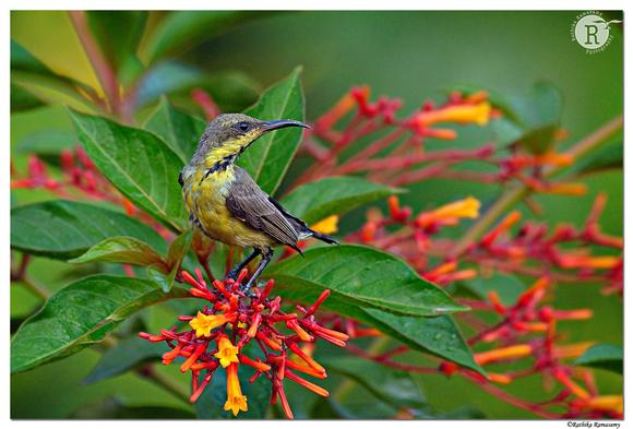 Purple sunbird (Cinnyris asiaticus)_D4R7829