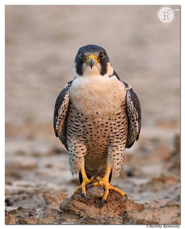 Peregrine falcon (Falco peregrinus)_D4S0892