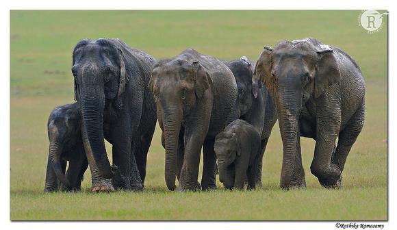 Asian elephants_DD38468