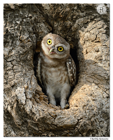 Spotted Owlet (Athene brama)_D4R4488