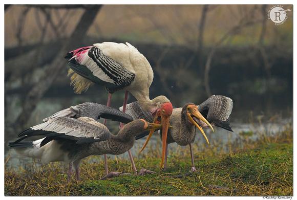 Painted stork (Mycteria leucocephala) _D4S6791