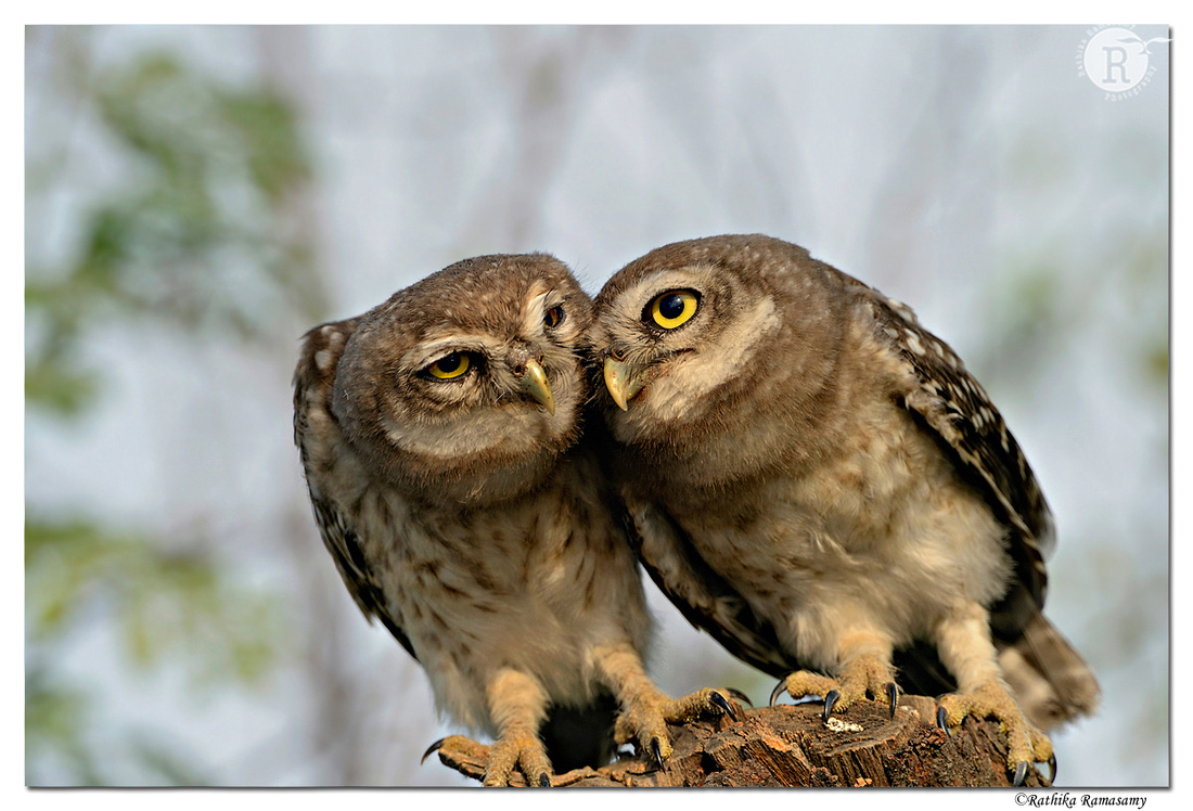 Spotted Owlet (Athene brama)_D4R4337