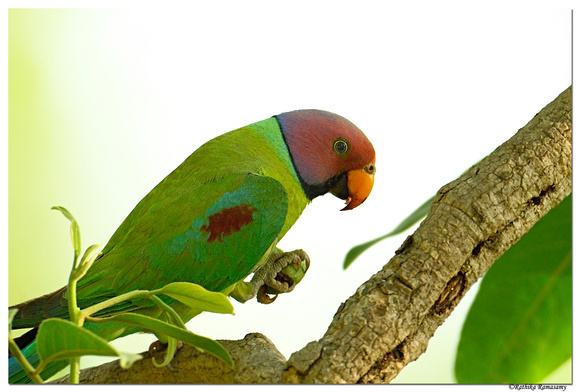 Plum-headed parakeet(Psittacula cyanocephala)BID1929