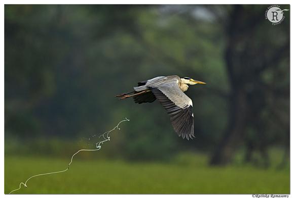 Grey heron (Ardea cinerea)_BID7213