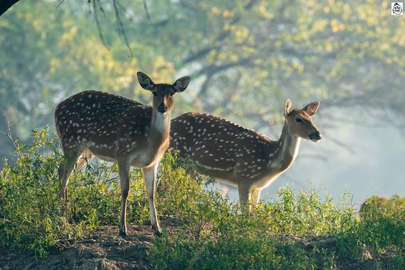 Spotted deer_D505618 ©Mr.Ananthakrishnan Srinivasan