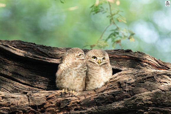 Spotted owlet (Athene brama) ©Mr.Ananthakrishnan Srinivasan