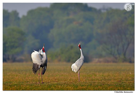 Sarus crane (Grus antigone)_D4S0076