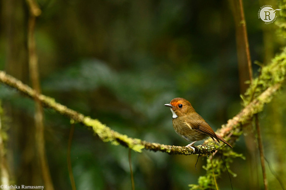 Rufous-browed flycatcher (Anthipes solitaris)_D559678