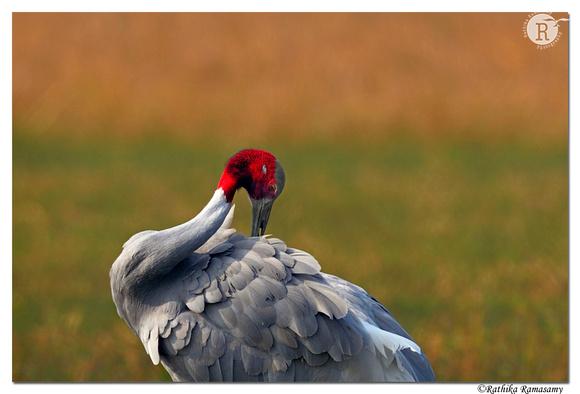 Sarus crane (Grus antigone)_D4S9880