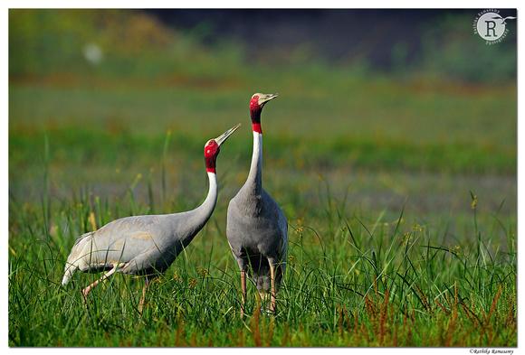 Sarus crane (Grus antigone)_D4S1168