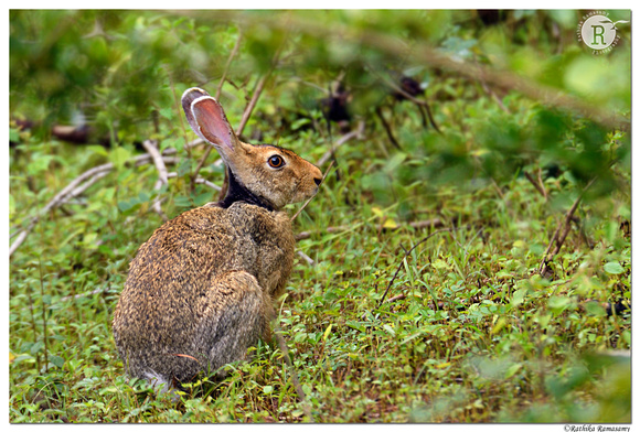 Black-naped hare_BID0043